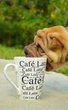 Καφές αγαπών κουταβιών Sharpei Στοκ εικόνες με δικαίωμα ελεύθερης χρήσης