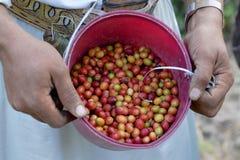 Καφές που συγκομίζεται φρέσκος από τον αγρότη Γιεμενιτών στοκ φωτογραφία με δικαίωμα ελεύθερης χρήσης