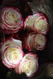 Καφέ-άσπρα τριαντάφυλλα Στοκ Φωτογραφίες