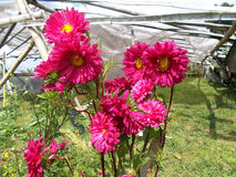 Καφέ λουλούδια crrysanthemum, κόκκινος crysant στοκ εικόνα