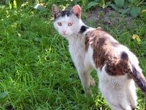 Καφετής-άσπρη γάτα Στοκ Εικόνες