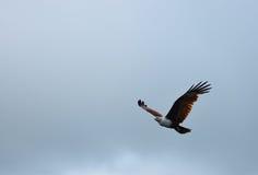 Καφετής αετός Στοκ Φωτογραφίες