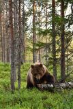 Καφετής αντέξτε με το νεκρό κορμό δέντρων Στοκ Φωτογραφίες