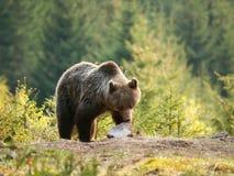 Καφετής αντέξτε στα βουνά Mala Fatra στη Σλοβακία - το δράστη Ursus Στοκ εικόνες με δικαίωμα ελεύθερης χρήσης
