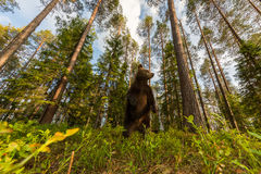 Καφετής αντέξτε στη φινλανδική δασική ευρεία γωνία Στοκ φωτογραφία με δικαίωμα ελεύθερης χρήσης
