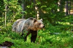 Καφετής αντέξτε στο δάσος Στοκ φωτογραφία με δικαίωμα ελεύθερης χρήσης