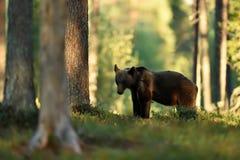 Καφετής αντέξτε στο θερινό δάσος Στοκ φωτογραφίες με δικαίωμα ελεύθερης χρήσης