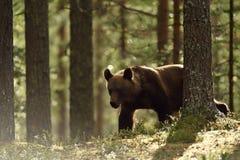Καφετής αντέξτε στο θερινό δάσος Στοκ φωτογραφία με δικαίωμα ελεύθερης χρήσης
