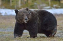 Καφετής αντέξτε το δάσος arctos Ursus την άνοιξη Στοκ Εικόνα