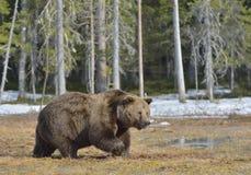 Καφετής αντέξτε το δάσος arctos Ursus την άνοιξη Στοκ Φωτογραφίες