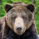 Καφετής αντέξτε το πορτρέτο arctos Ursus στο δάσος Στοκ φωτογραφίες με δικαίωμα ελεύθερης χρήσης