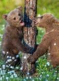 Καφετής αντέξτε Cubs playfull στο θερινό δάσος στοκ φωτογραφία με δικαίωμα ελεύθερης χρήσης