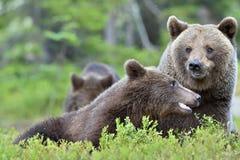Καφετής αντέξτε & x28 Ursus arctos& x29  με cubs στο θερινό δάσος Στοκ εικόνα με δικαίωμα ελεύθερης χρήσης