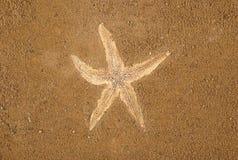 καφετής αστερίας άμμου α&n Στοκ Φωτογραφία
