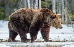 Καφετής αφορτε τα arctos Ursus ένα δάσος ελών την άνοιξη Στοκ Εικόνα