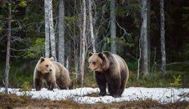 Καφετής αφορτε τα arctos Ursus ένα έλος Πράσινο δάσος άνοιξη στις ακτίνες ήλιων Στοκ Εικόνες