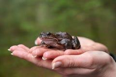 Καφετής βάτραχος στα χέρια της γυναίκας στοκ φωτογραφίες