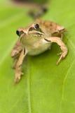καφετής βάτραχος Στοκ φωτογραφίες με δικαίωμα ελεύθερης χρήσης