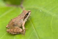 καφετής βάτραχος Στοκ φωτογραφία με δικαίωμα ελεύθερης χρήσης