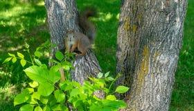 Καφετής γούνινος σκίουρος που τρώει και που προσέχει στοκ εικόνα με δικαίωμα ελεύθερης χρήσης