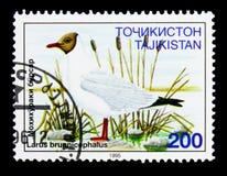 Καφετής-διευθυνμένος γλάρος (brunnicephalus Larus), πουλιά serie, circa 199 Στοκ Εικόνες