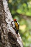 Καφετής-διευθυνμένο barbet ή μεγάλο πράσινο barbet [2] το zeylanicus Psilopogon στοκ εικόνα