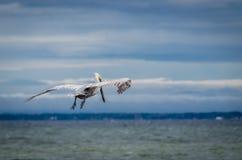 Καφετής ενήλικος πελεκάνος κατά την πτήση πέρα από τον ωκεανό Στοκ φωτογραφία με δικαίωμα ελεύθερης χρήσης