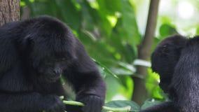 Καφετής-διευθυνμένοι πίθηκοι αραχνών - σίτιση κινηματογραφήσεων σε πρώτο πλάνο - 4k απόθεμα βίντεο
