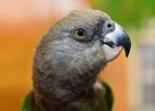 Καφετής διευθυνμένος παπαγάλος στοκ φωτογραφίες με δικαίωμα ελεύθερης χρήσης