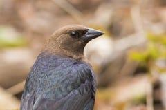 Καφετής-διευθυνμένο αρσενικό Cowbird Στοκ εικόνες με δικαίωμα ελεύθερης χρήσης