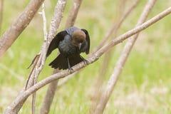 Καφετής-διευθυνμένο αρσενικό Cowbird Στοκ Εικόνες