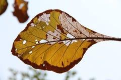 Καφετής κίτρινος ξηρός βγάζει φύλλα Στοκ εικόνα με δικαίωμα ελεύθερης χρήσης