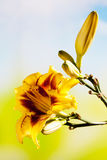 Καφετής κίτρινος dayliliy Στοκ Φωτογραφία
