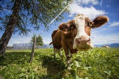Καφετής και λευκό οι αγελάδες στις ευρωπαϊκές Άλπεις Στοκ Φωτογραφία