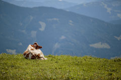 Καφετής και λευκό οι αγελάδες στις ευρωπαϊκές Άλπεις Στοκ φωτογραφίες με δικαίωμα ελεύθερης χρήσης