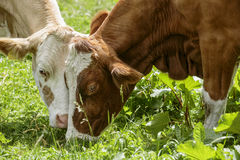Καφετής και λευκό οι αγελάδες στις ευρωπαϊκές Άλπεις Στοκ Εικόνα