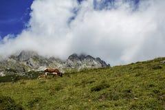 Καφετής και λευκό οι αγελάδες στις ευρωπαϊκές Άλπεις Στοκ εικόνες με δικαίωμα ελεύθερης χρήσης