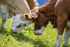 Καφετής και λευκό οι αγελάδες στις ευρωπαϊκές Άλπεις Στοκ Φωτογραφίες