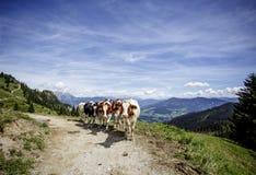 Καφετής και λευκό οι αγελάδες στις ευρωπαϊκές Άλπεις Στοκ εικόνα με δικαίωμα ελεύθερης χρήσης