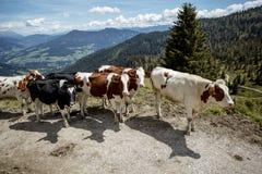 Καφετής και λευκό οι αγελάδες στις ευρωπαϊκές Άλπεις Στοκ Εικόνες