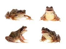 καφετής κοινός βάτραχος Στοκ Φωτογραφίες
