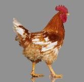 Καφετής κόκκορας στο γκρίζο υπόβαθρο, ζωντανό κοτόπουλο, ένα ζώο αγροκτημάτων κινηματογραφήσεων σε πρώτο πλάνο στοκ φωτογραφίες με δικαίωμα ελεύθερης χρήσης