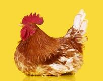 Καφετής κόκκορας στο κίτρινο υπόβαθρο, ζωντανό κοτόπουλο, ένα ζώο αγροκτημάτων κινηματογραφήσεων σε πρώτο πλάνο στοκ εικόνες