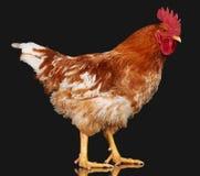 Καφετής κόκκορας στο μαύρο υπόβαθρο, ζωντανό κοτόπουλο, ένα ζώο αγροκτημάτων κινηματογραφήσεων σε πρώτο πλάνο στοκ εικόνες