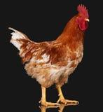 Καφετής κόκκορας στο μαύρο υπόβαθρο, ζωντανό κοτόπουλο, ένα ζώο αγροκτημάτων κινηματογραφήσεων σε πρώτο πλάνο στοκ φωτογραφία