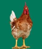 Καφετής κόκκορας στο πράσινο υπόβαθρο, ζωντανό κοτόπουλο, ένα ζώο αγροκτημάτων κινηματογραφήσεων σε πρώτο πλάνο στοκ εικόνα με δικαίωμα ελεύθερης χρήσης