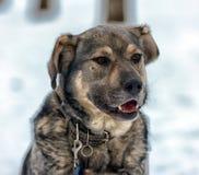 Καφετής με το γκρίζο μιγία σκυλί Στοκ Εικόνα