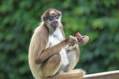 Καφετής πίθηκος αραχνών Στοκ φωτογραφίες με δικαίωμα ελεύθερης χρήσης