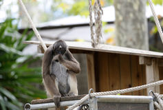 Καφετής πίθηκος αραχνών Στοκ Εικόνες