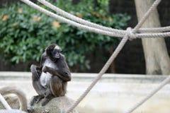 Καφετής πίθηκος αραχνών Στοκ εικόνα με δικαίωμα ελεύθερης χρήσης